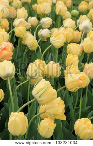 Soft color of pretty yellow tulips in backyard garden.