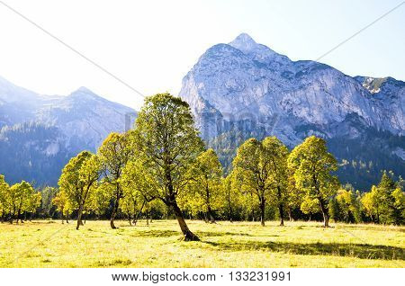 Yellow Leaves of Larch in Ahornboden, Tyrol  (Austria)