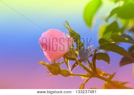 blossoming rose flower in the garden.pink rose flower