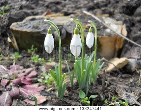 Three white snowdrop. The first spring flowers.