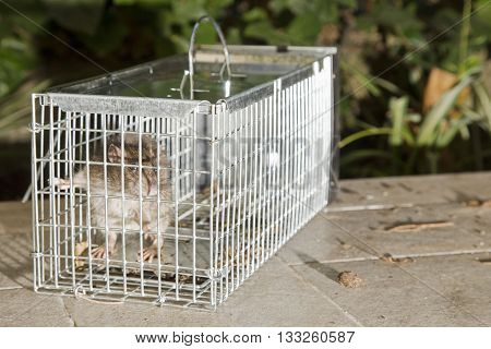 Closeup of a grey rat trapped in a metal cage