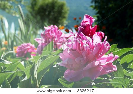 Scrub with a lush pink peonies in a sunny garden