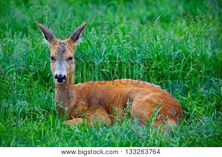 Roe Deer laying in the green grass