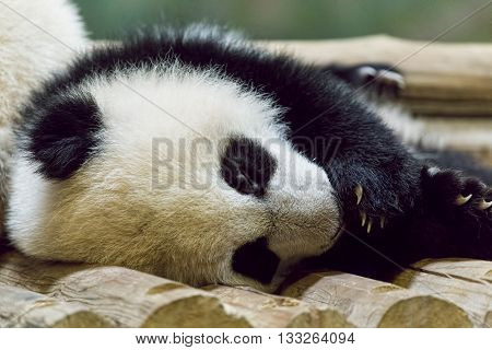 Single baby Giant Panda sleeping at the zoo.