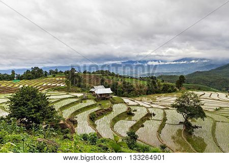 Rice seedling on terrace rice fields in Chiang mai Thailand