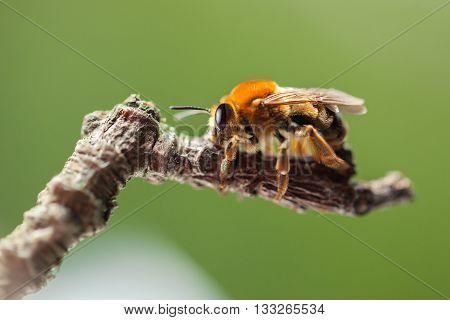 Bee Sitting On Twig