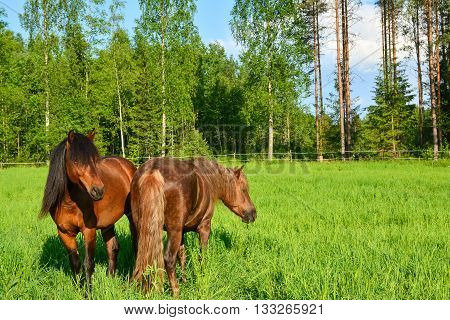 Two brown ponies eating on green meadow