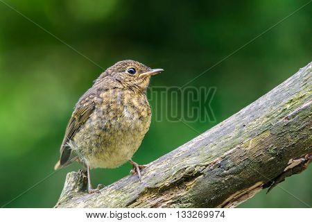 Juvenile robin perching on a tree branch