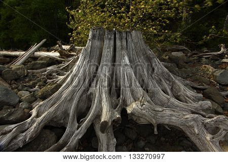 a picture of an exterior Pacific Northwest forest sun bleached douglas fir tree stump