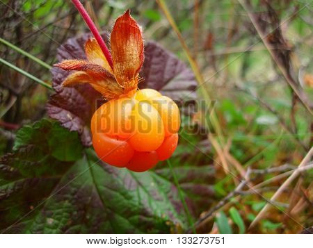 cloudberry is ripened in the forest in the swamp