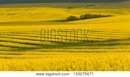 Canola fields in remote rural area in Europe