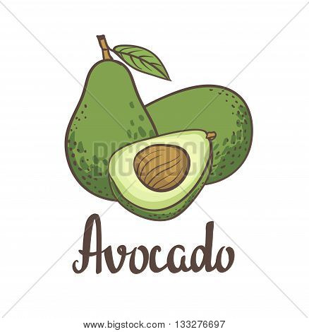 Avocado, half of avocado, avocado seed Hand drawn  painting isolated on white background. Vector illustration of fruit avocado