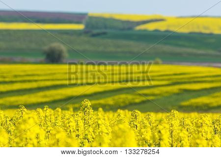 Canola fields in remote rural area in spring