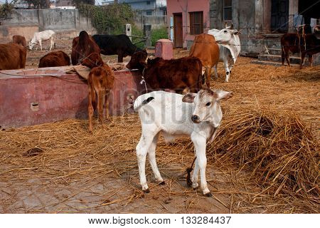 Small calf and other animals in a rustic barn in the indian village farm in India
