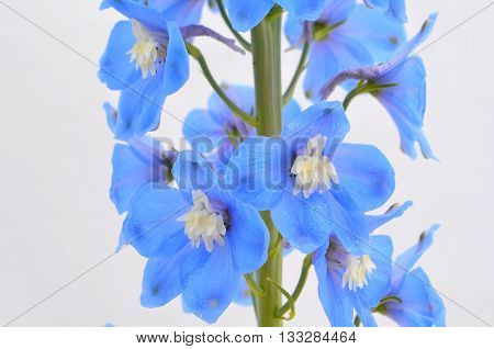 Flowering blue delphinium in the garden against the sky