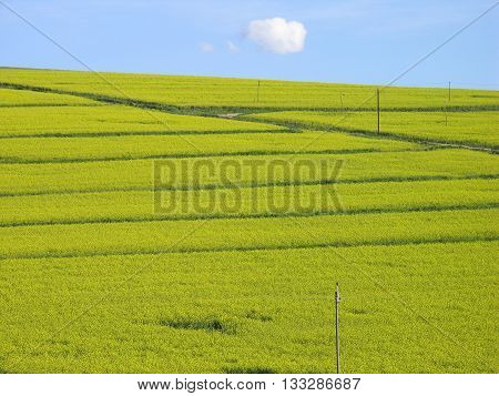 Durbanville, Canola Field, Cape Town South Africa 08