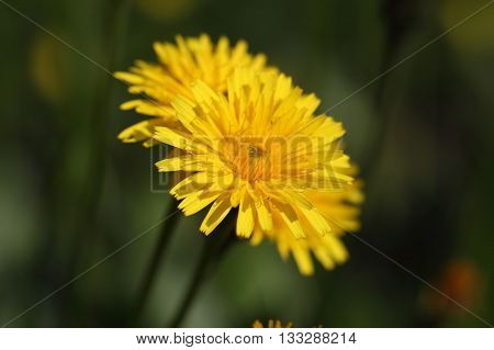 Macro photo of a Rough or Bristly Hawkbit (Leontodon hispidus).