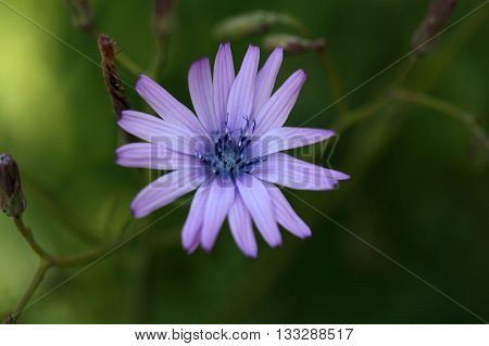 Flower of a mountain lettuce (Lactuca perennis).