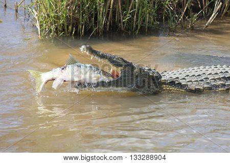 Large nile crocodile eat a fish on the river bank