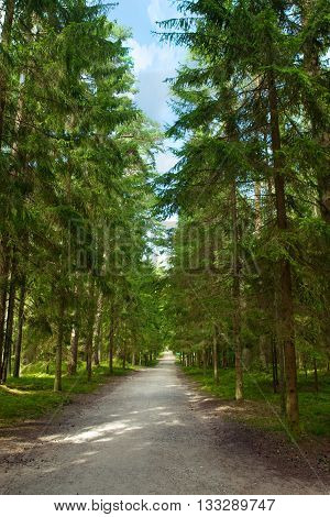 Walking path in the pine forest. Summertime