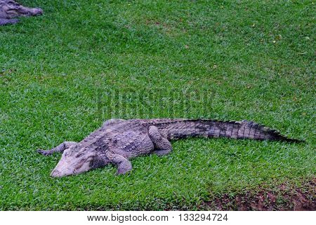 Crocodiles (subfamily Crocodylinae) or true crocodiles are large aquatic reptiles that live throughout the tropics in Africa, Asia, the Americas and Australia