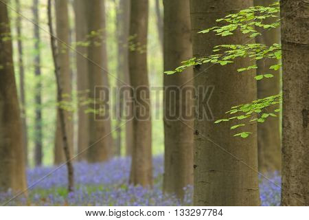 Blue bells fill the ground in a beech wood in Belgium