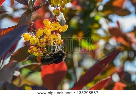 big bumblebee collects nectar from the flowers of the barberry close-up