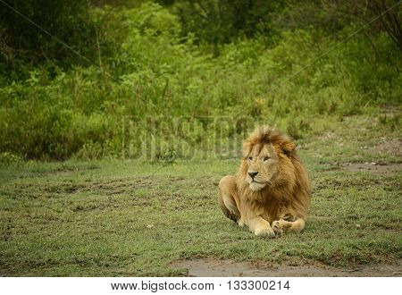 Large African male lion laying in the Serengeti, Africa.