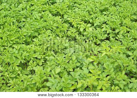 Potato field texture. green leafs of potato