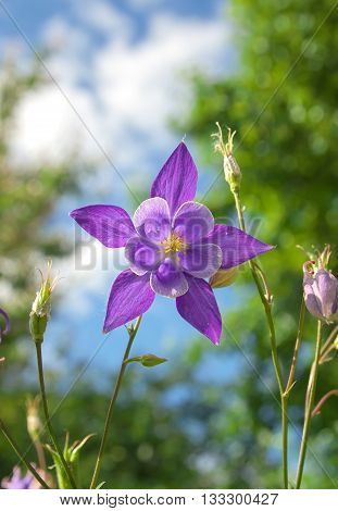 Beautiful purple aquilegia. Flower in the garden.