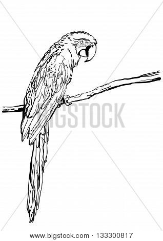 Vector Hand Drawn Illustration Of Tropical Ara Parrot. Isolated Monochrome Parrot Bird. Black And Wh