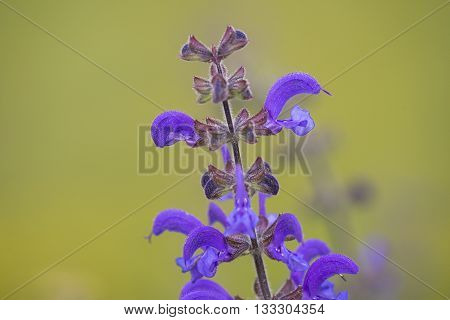 Top of a Flower Cluster of a Meadow Clary (Salvia pratensis) with several flowers flowering