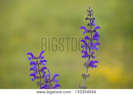 Flower Clusters of a Meadow Clary (Salvia pratensis) with several flowering flowers