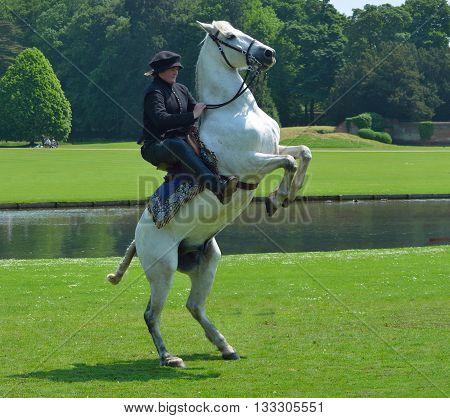 Saffron Walden, Essex, England - June 05, 2016: White horse rearing up with rider in Elizabethan costume.