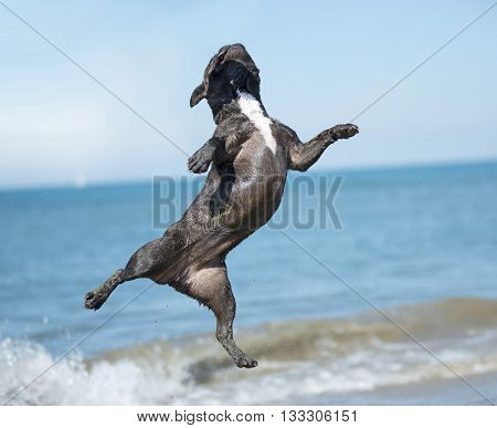 french bulldog jumping on the beach in France