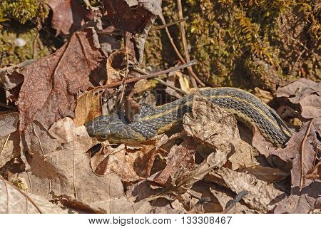 Garter Snake Hiding in the Leaves along the White Rocks Trail in Cumberland Gap National Park in Virginia