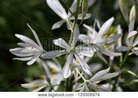 Macro photo of a St Bernards lily (Anthericum liliago)