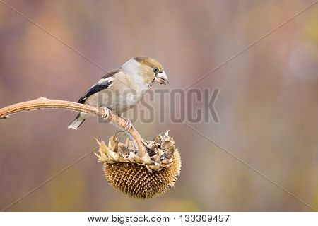 female hawfinch bird on sunflower in nature outdoor