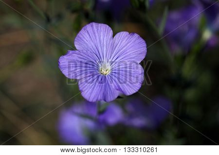 Flower of perennial or blue flax (Linum narbonense).