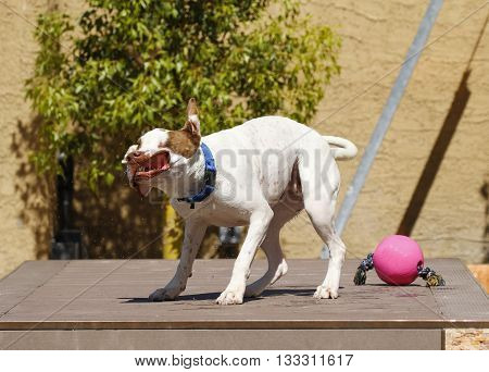 Pitbull shaking off water with his lips flapping and teeth showing