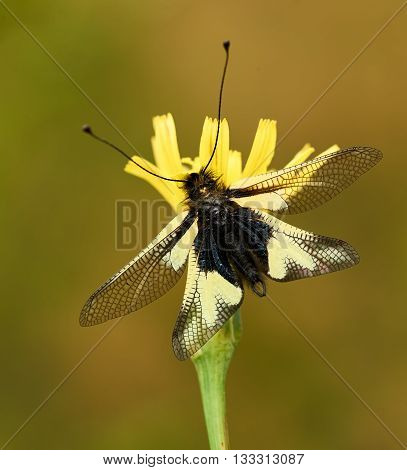 Owly sulphur is an owlfly species it is a rare insect