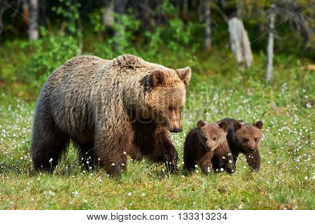 Mother bear walking in Finnish taiga with its small cubs