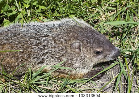 Groundhog in the grass from above view