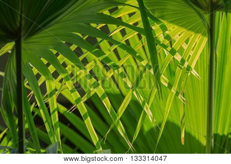 Pattern of interwoven palm leafs illuminated by natural sun light from the back create a nice background