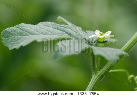 White bryony (Bryonia dioica) in flower. A perennial climbing vine in the cucumber family (Cucurbitaceae) flowering in the English countryside