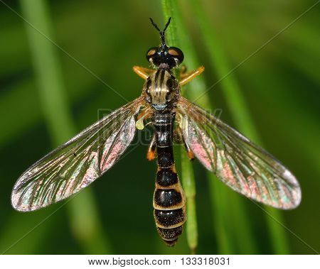 Small yellow-legged robber fly (Dioctria linearis). This wasp like fly in the family Asilidae at rest on low vegetation