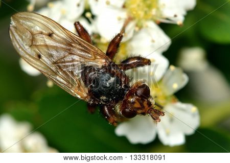 Myopa testacea conopid fly. Brown fly that hunts and paralyzes bees in the family Conopidae