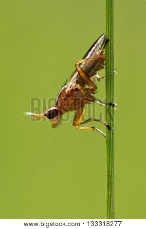 Ilione albiseta snail-killing fly. Probable identification of predatory insect in the family Sciomyzidae