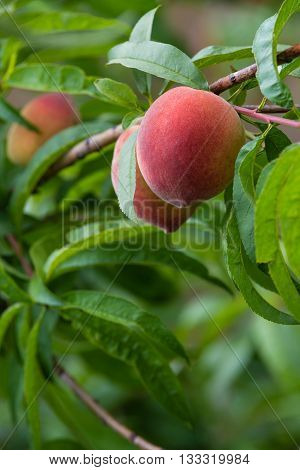 Sweet peaches ripening on peach tree branch in the garden closeup