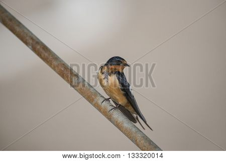 Barn Swallow perched on a rusty steel rod.